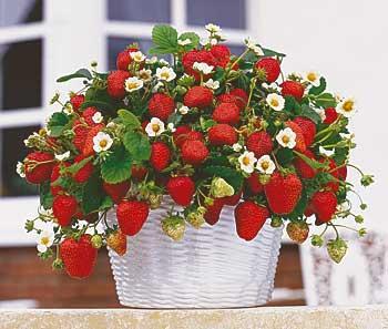 клубника – это не только удовольствие от ее сладости и сочности. Это наслаждение красотой ее цветением и плодоношением