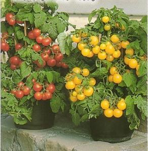 помидоры для балкона – красиво и полезно
