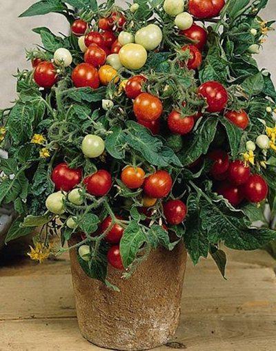 помидоры на лоджии