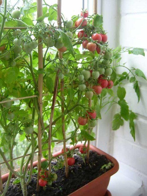 Балконные помидоры в стадии созревания