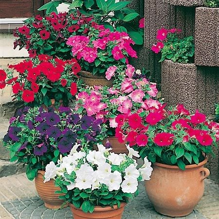Петуния выгодно выделяется на фоне других цветов, период ее цветения с июня до конца октября (до существенных морозов). Балконы в цветах петунии выглядят потрясающе