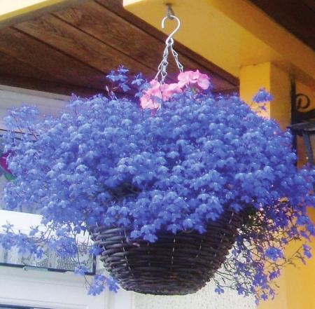 Благоустройство балкона ампельными растениями: лобелия – насыщенный голубой цвет