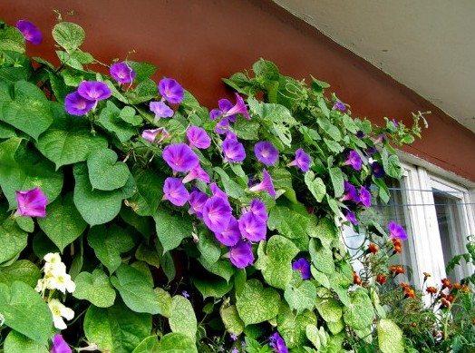 Вьющиеся цветы на лоджии нуждаются в дополнительной подпорке