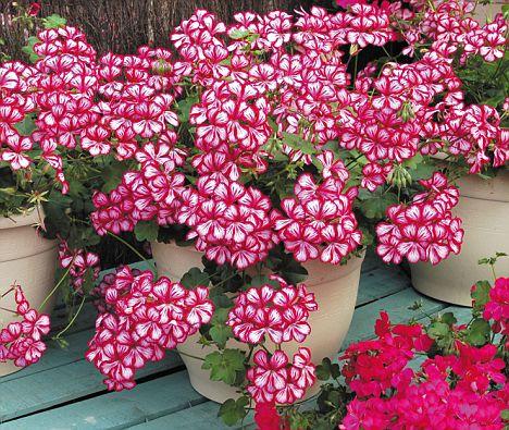 Герань или пеларгония в стадии цветения