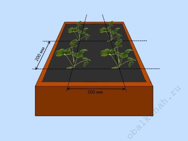 Минимально допустимое расстояние между высаживаемыми саженцами составляет 200 мм