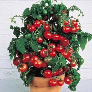 Мелкоплодные томаты безупречно впишутся в общую композицию озеленения. Вы сможете с уверенностью сказать: мой зеленый балкон самый уникальный