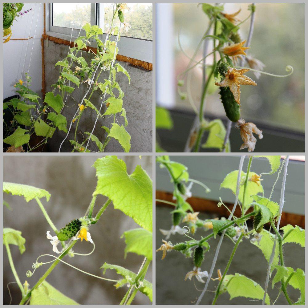 Огурцы на балконе: инструкция по выращиванию, видео и фото.