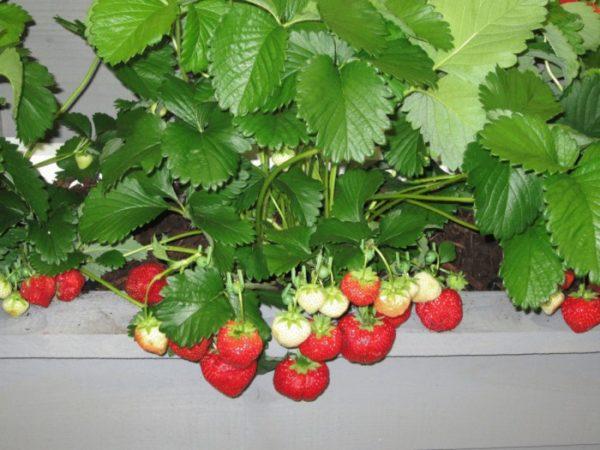 При правильном подходе урожай клубники можно собирать, даже не выходя из дома