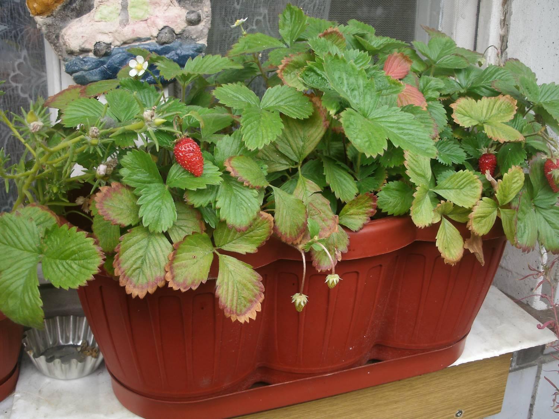 Выращивание клубники в домашних условиях, правила ухода, бор.