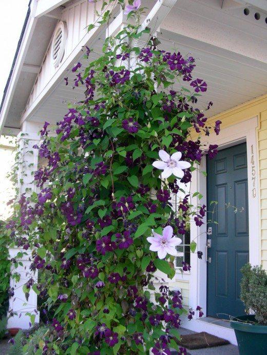 Клематис – интенсивно цветущее и красивое вьющееся растение. Отлично чувствует себя на восточной и южной стороне закрытых лоджий и балконов. Этому растению необходима опора. Клематисы любят обильный полив, их побеги нужно вовремя подвязывать и периодически взрыхлять почву
